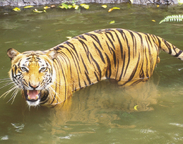 bengal tiger at lake