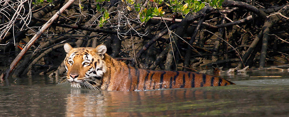 Tiger at Sunderban