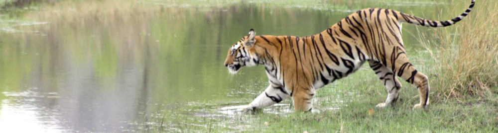tiger at lake