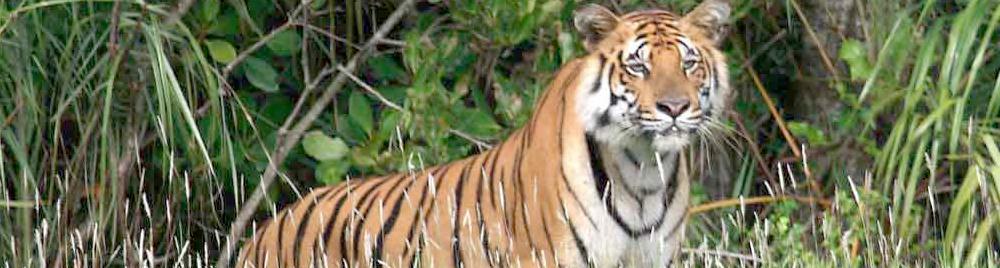 Tiger at Sunderban