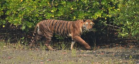 Bengal Tiger Tour